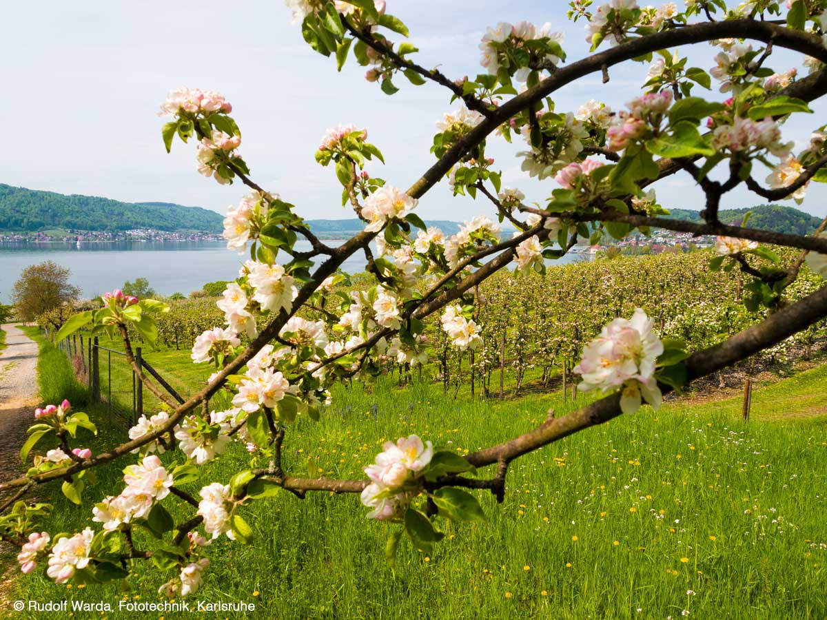 Palatini, Appple blossom at Lake Constance